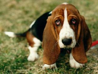 "Il BassetHound: Il cane ""Da Tartufo"""