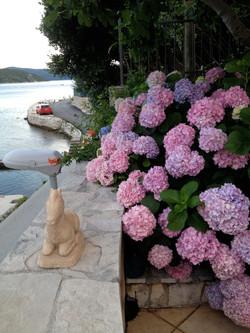 Croatian Hortensia