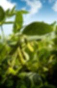 soybean-plant.jpg
