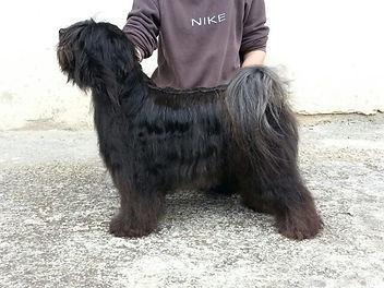 tibetan terrier nero