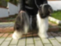 tibetan terrier bianco e nero