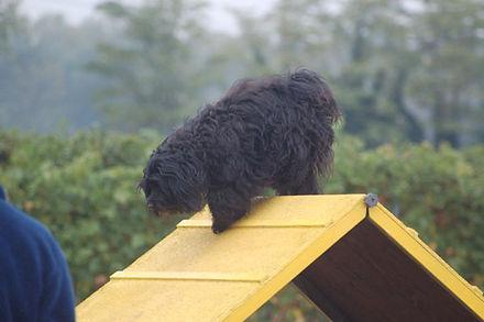 agility tibetan terrier lost valley