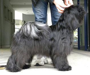 tibetan terrier grigio