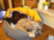 tibetan terrier e gatto