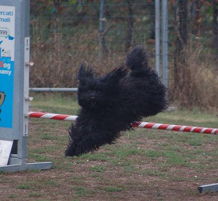 agility tibetan terrier