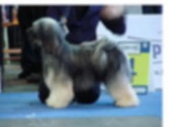 tibetan terrier hothi