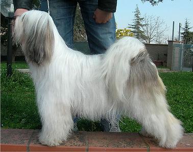 tibetan terrier bianco oro