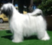 tibetan terrier particolor