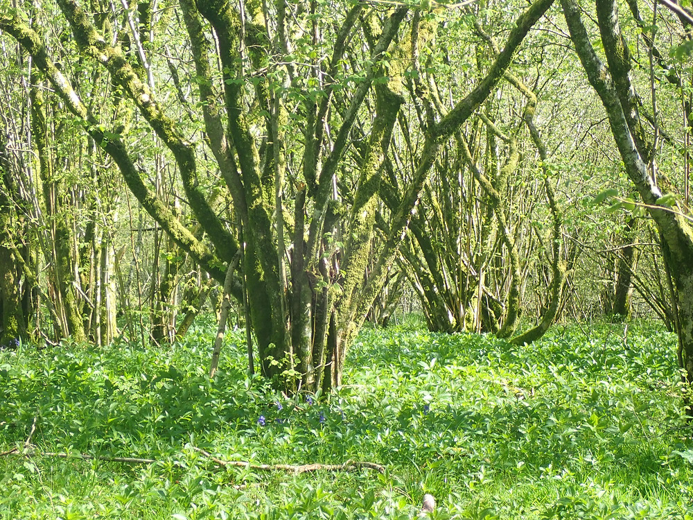 Coppiced trees with bright green undergrowth