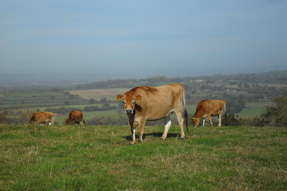 Jersey cows on Cadbury Castle with views behind.