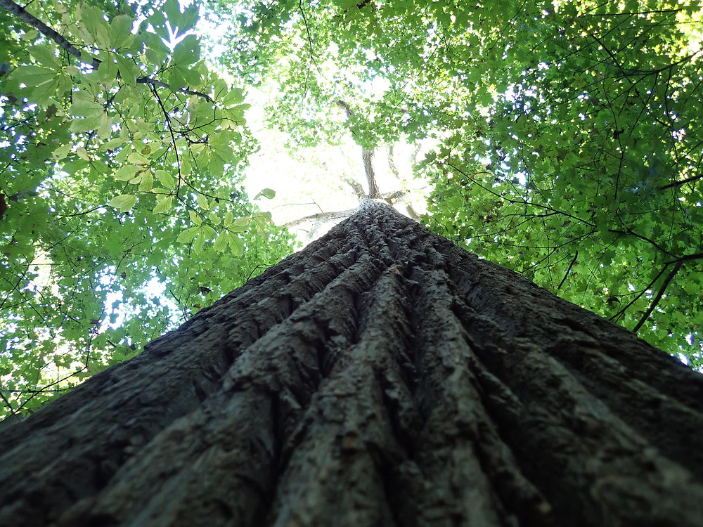lookingup the trunk of a very tall tree