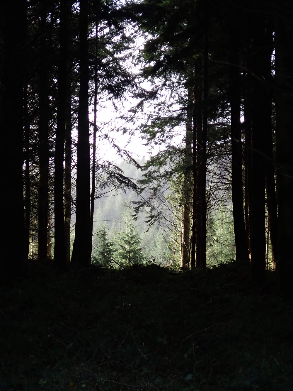 Large conifer trees and a view through them