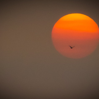 seagull at sunset by Marc Messier.jpg