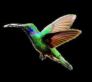hummingbird-transparent-3_edited.png
