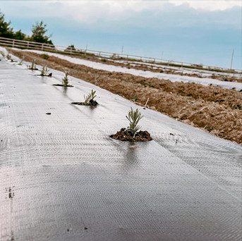 Lavender Plugs at Hereward Farms