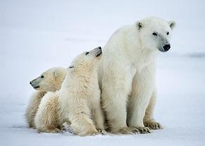 Polar she-bear with cubs. A Polar she-be