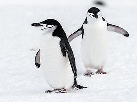 Two beautiful penguins.jpg