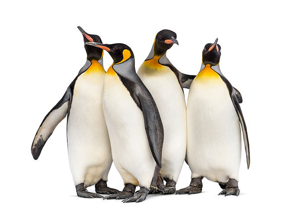 Colony of king penguins together, isolat