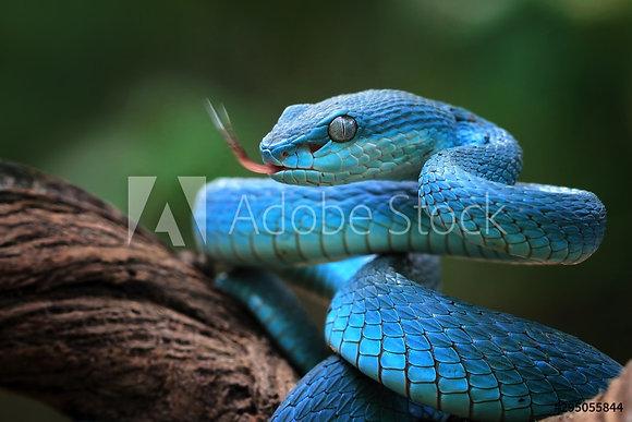 Blauwe adder