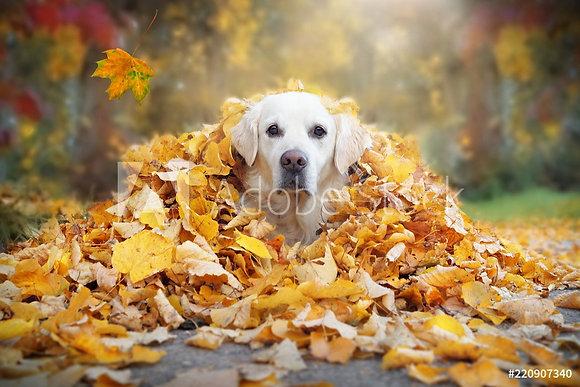 Golden Retriever in berg herfstbladeren