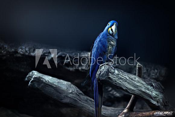 Macow papegaai
