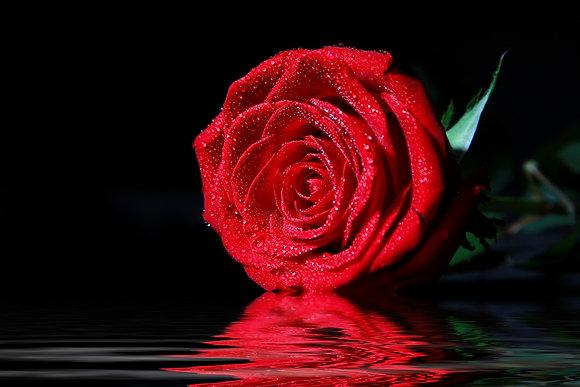 Rode roos met waterdruppels