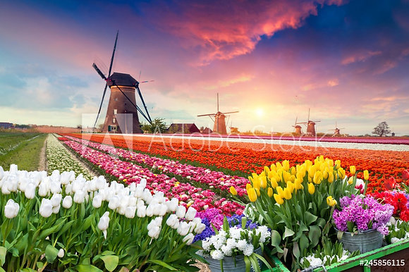 Tulpen uit Nederland