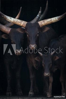 Afrikaanse Watusi koeien