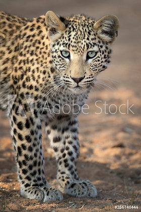 Jonge Leopard