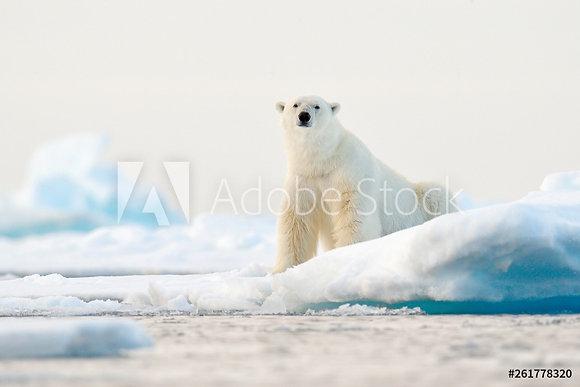 Ijsbeer op de Noordpool