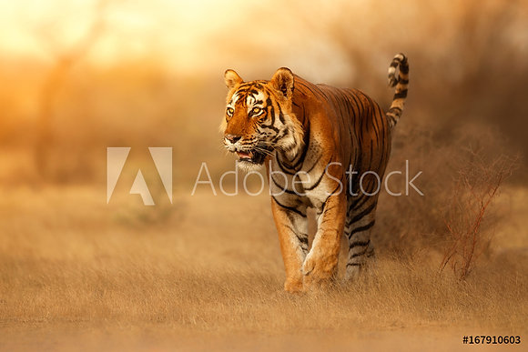Great tiger male in the nature habitat. Tiger walk during the golden light time