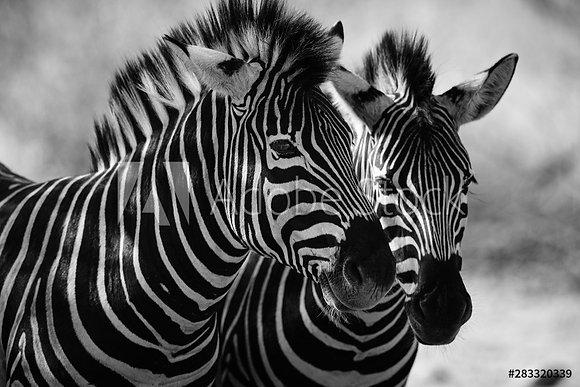 Close up van 2 zebras