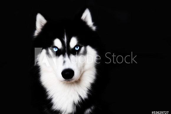 Husky met blauwe ogen