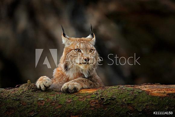 Lynx rustend op boomstam