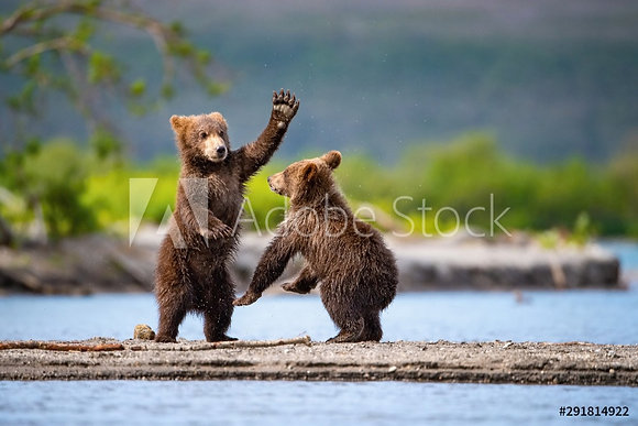 Spelende beren welpen