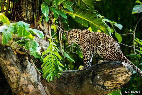 Luipaard op boomstronk