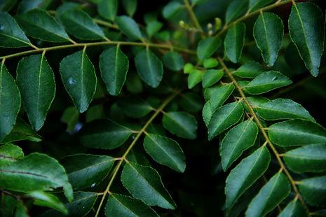 農薬等科学的物質を使用せずに育てている生の葉です。 新鮮な生葉は、カレー料理を本場インドの味により近づけます。 ほかの香辛料や小粒の豆類と炒めたり、ほかの香辛料と煮込んでスープにも使います。カレーリーフは香りがたちやすいので、材料を炒める直前にいれて香りが立ったらOKです