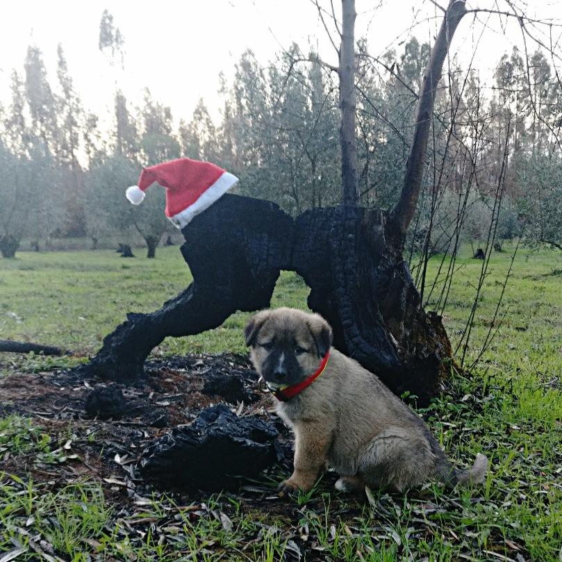 Galega, our newest Passeite dog