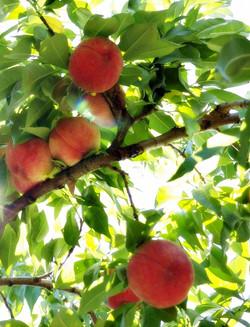7月、8月- 品嚐舌尖上的水蜜桃