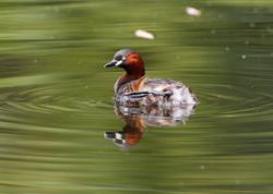 悠游湖中的小水鴨~