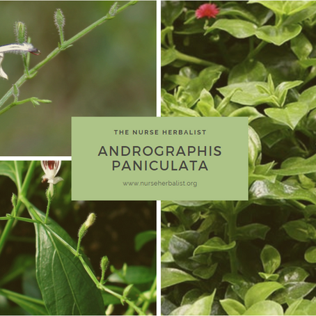 Andrographis Paniculata / Chuan Xin Lian
