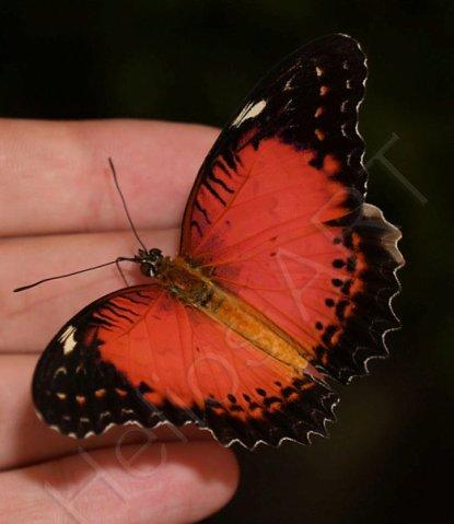 Hebomoia glaucippe или Шаль.  Обитает на Филиппинах, размах 5-6 см. 900р