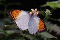 Hebomoia glaucippe .Бабочек можно часто встретить в Индии . Размах крыльев - 7 см. 800р