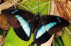 Бабочка Поликсена. 1200 руб.