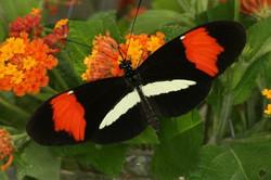 Обитает в Латинской Америки, Размах крыльев около 5 см. 1000 руб.