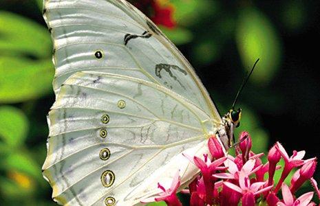 Морфо Полифем Единственная бабочка из рода Морф обладающая белым окрасом ! 2000