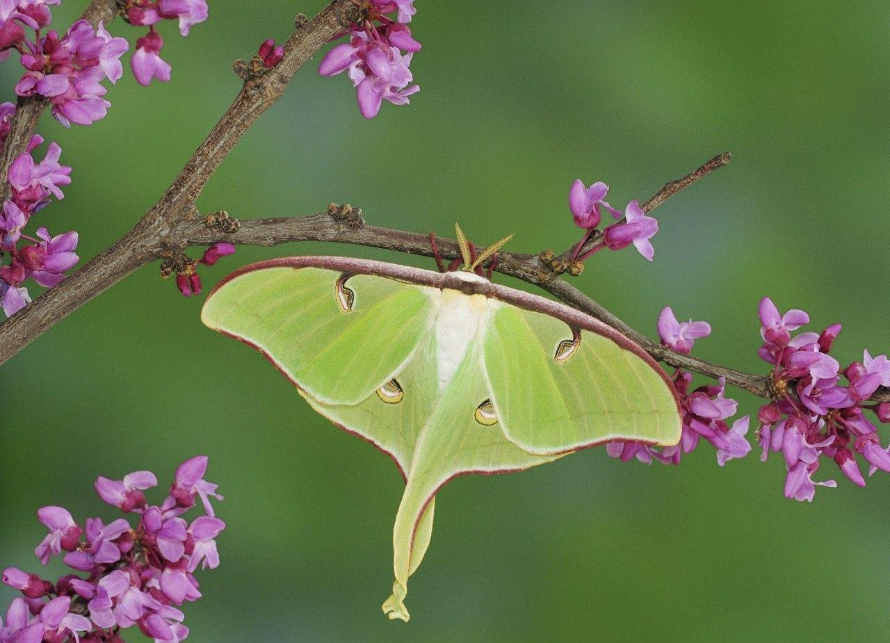 Бабочка Мимоза Ночной Мотылек13-15 см