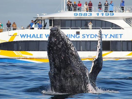 Whale Watching in Manly Australia!