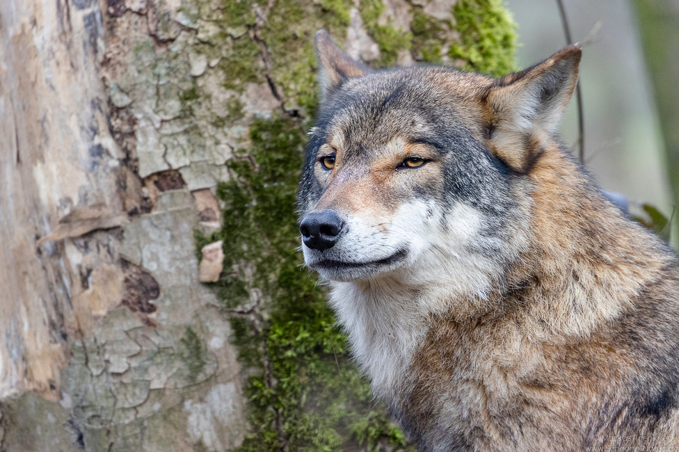 Wolf [Canis lupus]