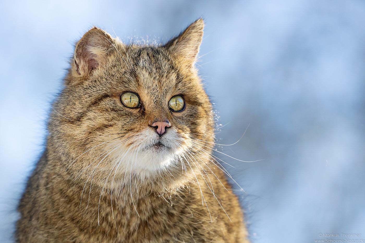 Wildkatze [Felis silvestris silvestris]